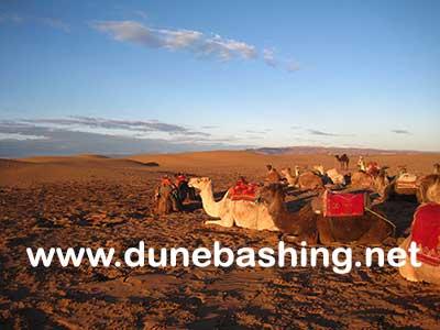 morning camel safari dubai