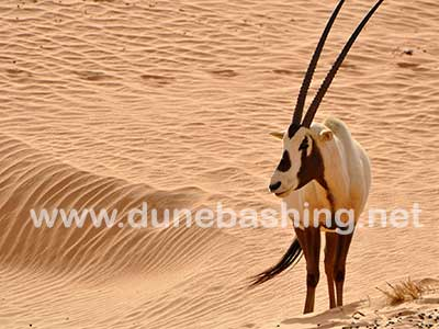 The Arabian Oryx